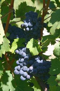 grape_02