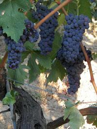 grape_07