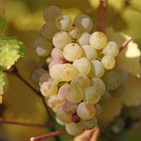 grape_10