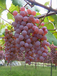grape_12